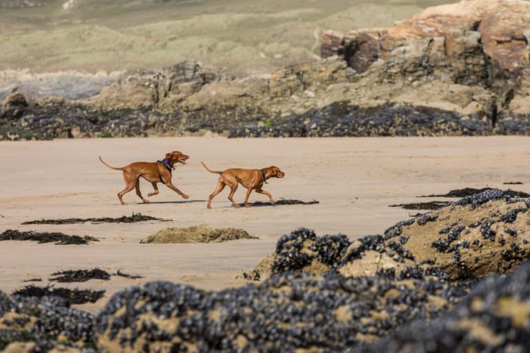 Dogs on the beach in Perranporth in Cornwall